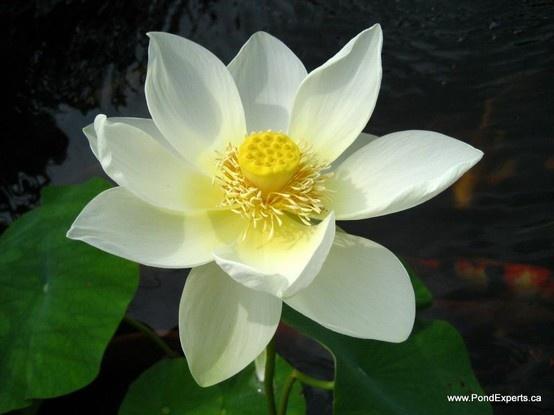 Lutea Lotus Flower Day 2