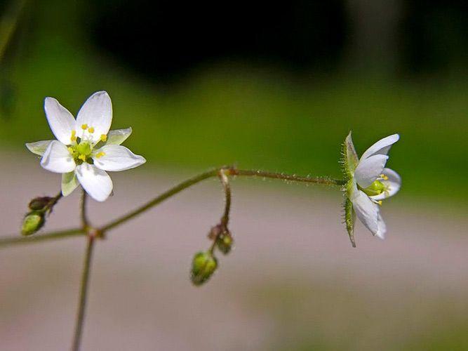 Peltohatikka, Spergula arvensis