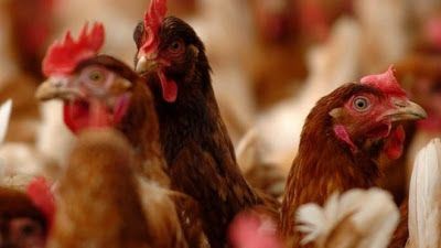 BREAKING: FG Reports New Outbreak of Bird Flu in 7 States and The FCT   The Federal Government has on Friday alerted the public to the outbreak of Avian Influenza or Birdflu in the FCT and seven states of the country.  Dr Gideon Mshelbwala the Director of Veterinary and Pest Control Services Federal Ministry of Agriculture and Rural Development raised the alert at a meeting with state Commissioners of Agriculture in Abuja on Friday. Mshelbwala listed the states affected by the outbreak to…