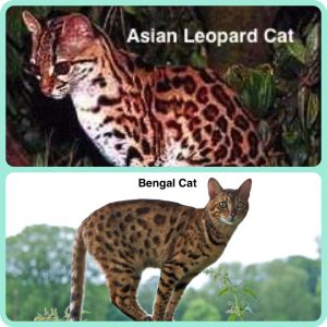 A Very Brief History - The original Bengal cats are a hybrid of the Asian Leopard Cat and domestic cats. They were developed by various people, most notably Jean Sugden Mill, in the 1970s and 80s with the aim of harnessing the beauty of the wild cat, yet maintaining the temperament of the domestic cat. Through careful breeding, this aim has definitely been achieved!