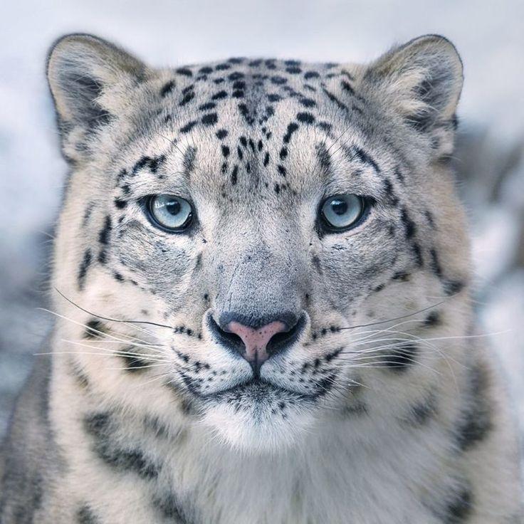 Snow leopard eyes rare animals - #Eye #Snow leopard #seltene #tiere   - Tiere - #Animals #Eye #eyes #leopard #Rare #seltene #Snow #Tiere
