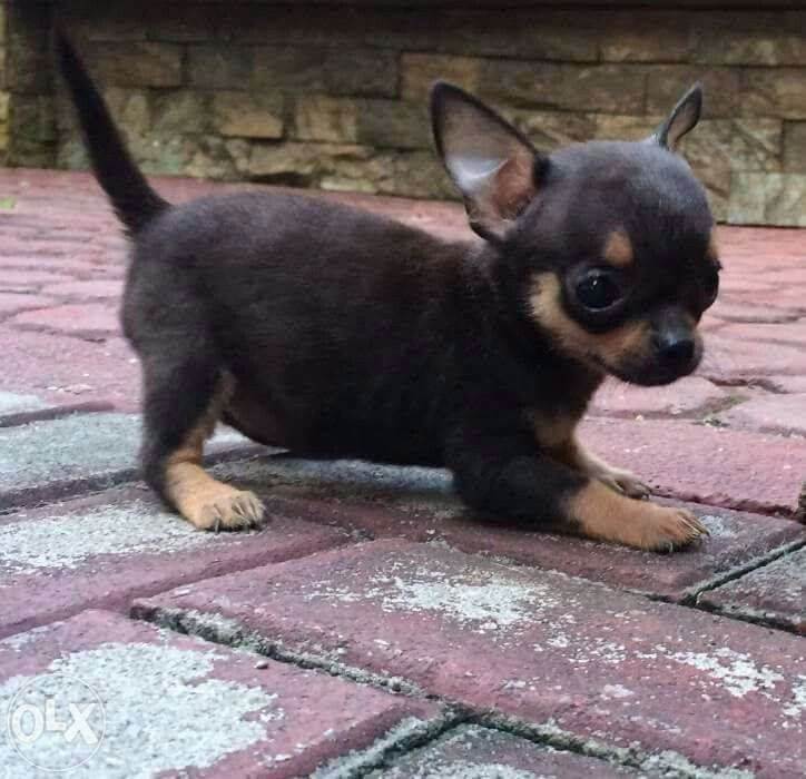 black and brown chihuahua puppies 598 best chihuahuas chocolate brown or black and tan 1 3669