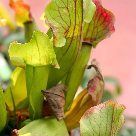 Sarracénie pourpre (Sarracenia purpurea) Espèce type