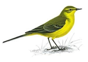 Grey or Yellow Wagtail spotted Paddy Slacks climb, Mon 25 June