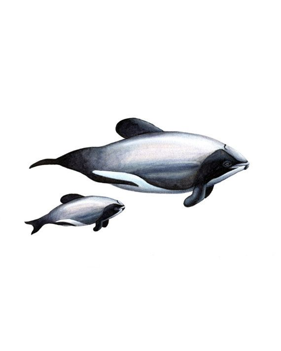 Mauis dolphin and calf illustration giclee art by EmmaScheltema