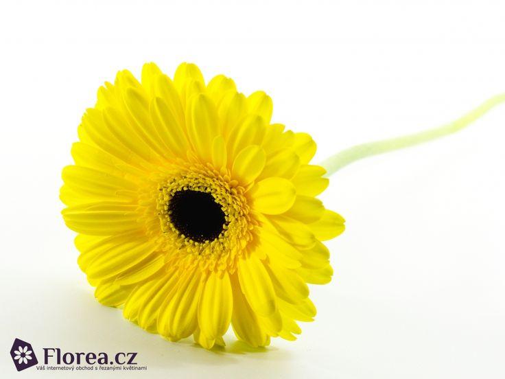 Gerbera Don Leo http://www.florea.cz/produkty/gerbera-1 #gerbera #flowers