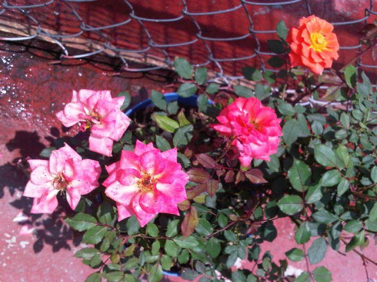 Quinteta de rosas.
