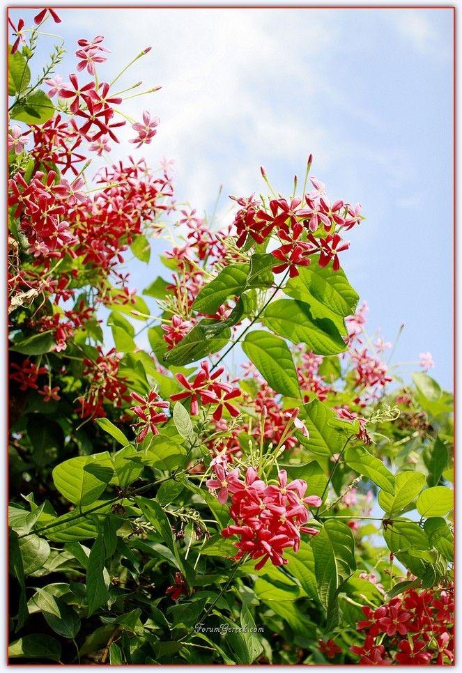 Çin Hanımeli Çiçeği (Bindallı Sarmaşığı) - Sayfa 3 - Forum Gerçek
