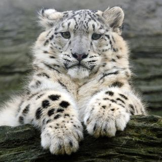 The young snow leopard shows off his chunky paws. They act as snow shoes when walking through snow! Absolutely gorgeous young snow leopard!!