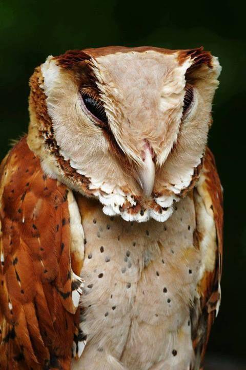 Corujas são animais conhecidos, principalmente, por poder girar seu pescoço 270º. Esta lista reúne algumas das corujas mais chamativas da natureza.