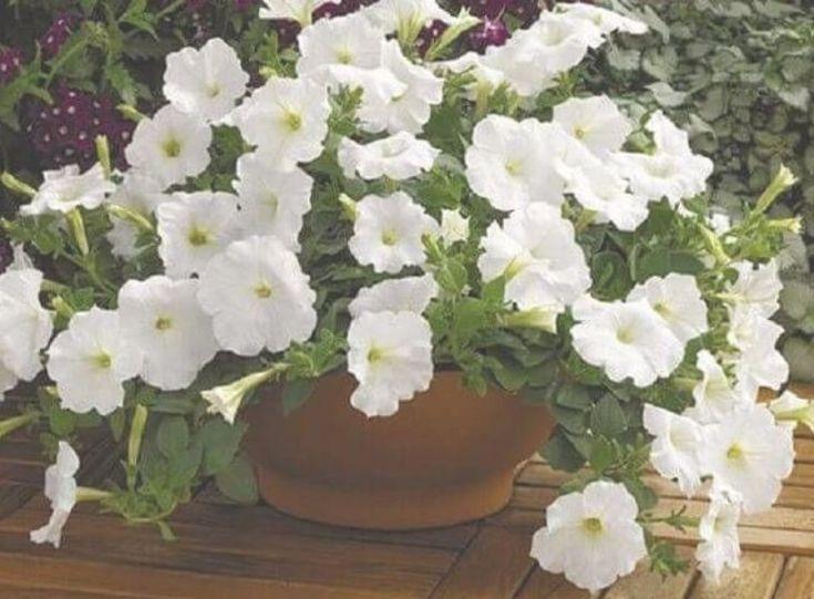 Petunias Meaning Vines In 2020 Petunia Flower Petunias Container Flowers