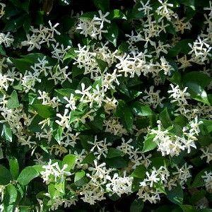toscaanse jasmijn - geurende klimplant, eventueel naast voordeur.