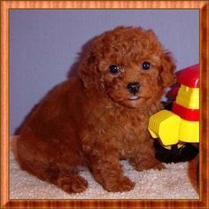 Toy Poodle | Red Toy Poodle Puppy - Male - For Sale by AKC Breeder