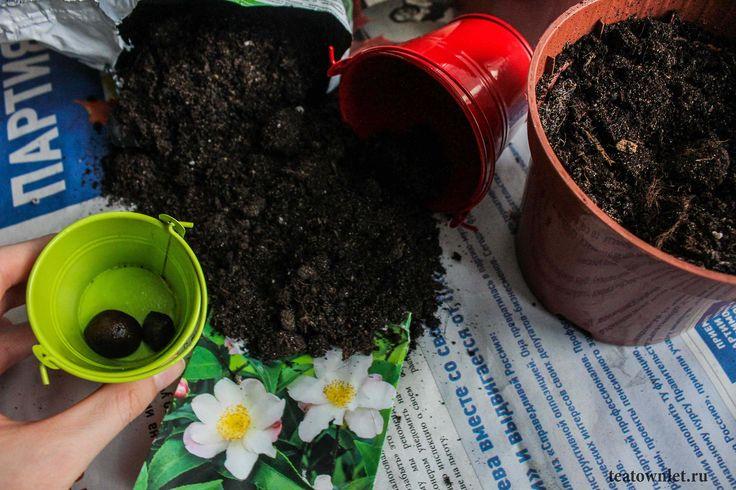 История чая насчитывает много тысячелетий. #ВыращиванияЧая #ЧайныйГородок #Чай