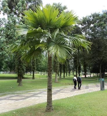 Livistona rotundifolia footstool palm palmas for Palmeras plantas de interior