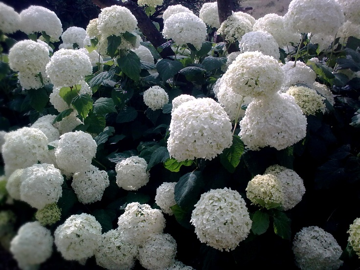 Hortensias Color Blanco