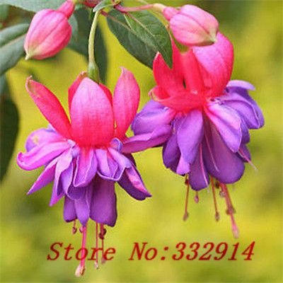 Sale!100 seed Chinese lantern plant flower Seeds, very sweet and cute, ..