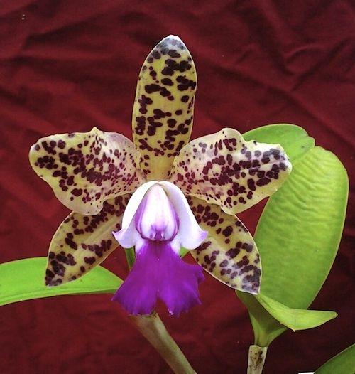 Cattleya Green Emerald Queen   Plant Size Choose an option Bloom Size
