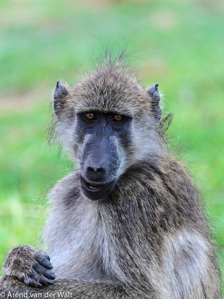 Baboon by Arend van der Walt on 500px