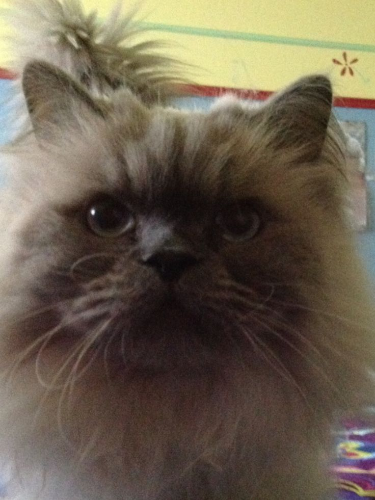 89 best chats images on pinterest kitty cats beautiful cats and cat love - Himalayen chat ...