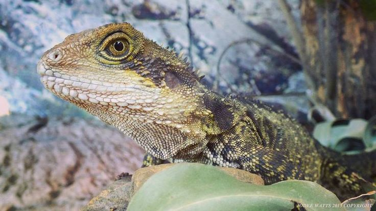 #Australian Eastern Water #Dragon by Jodee Watts #Wellington Zoo #NewZealand #photography #nature #naturephotography