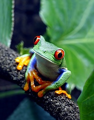 *Red Eye Tree Frog