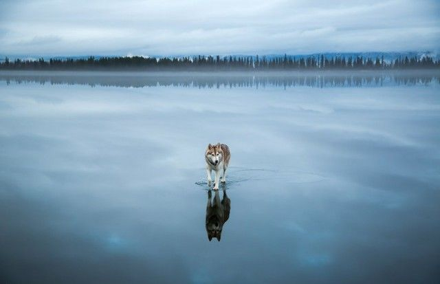 Siberian Husky On A Frozen Lake Fox Grom is a Russian photographer born in Kirovsk. The artist has two beautiful Husky he likes to shoot in all kinds of situations. In this series, the man walked with his two adorable animals on a frozen lake.