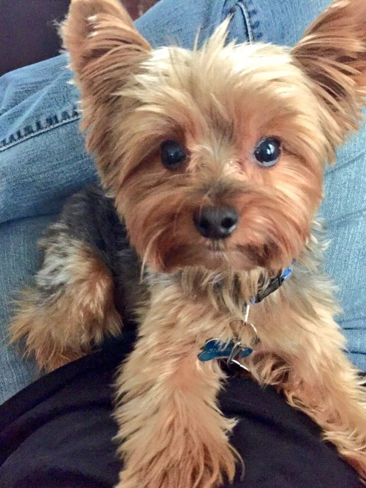 Love a Yorkie... #YorkshireTerrier