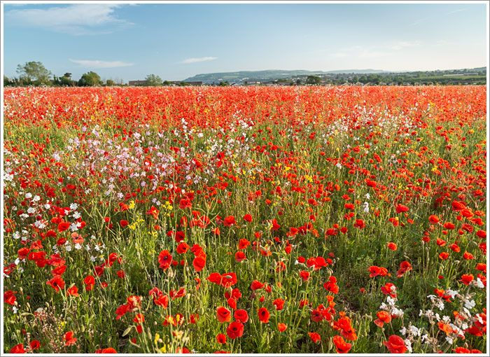 Poppy field, Sandown, Isle of Wight, England, UK