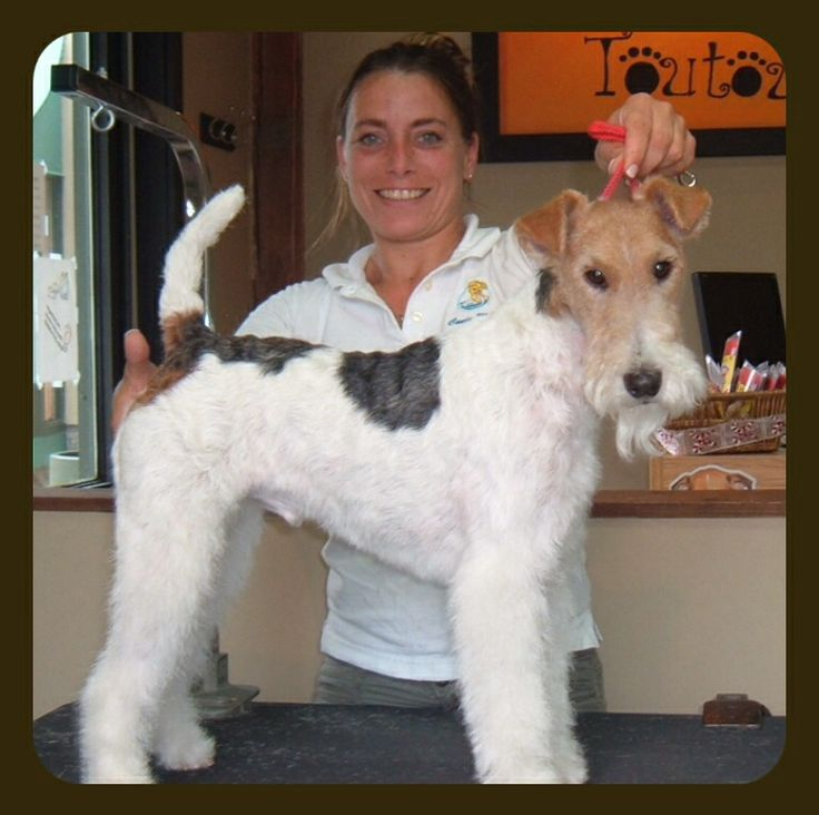 how to cut fox terrier wired hair on face