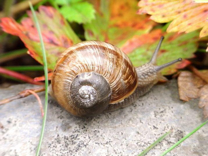 74 best weinbergschnecken images on pinterest snails. Black Bedroom Furniture Sets. Home Design Ideas