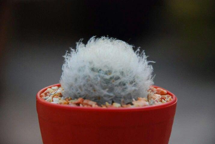 Mammillaria photo by MIM