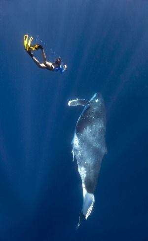 At Queensland's Hervey Bay you can swim with humpback whales.