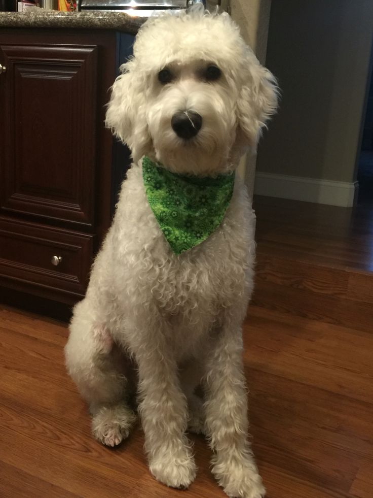 17 Best Images About Thor Labradoodle ️ On Pinterest