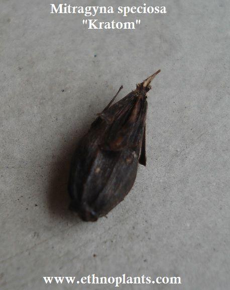 Kratom seeds pods for sale #kratom https://www.ethnoplants.com/gb/asian-plants-seeds/426-mitragyna-speciosa-kratom-seeds-pods.html