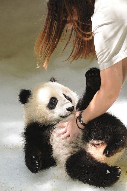 tickling a baby panda bear