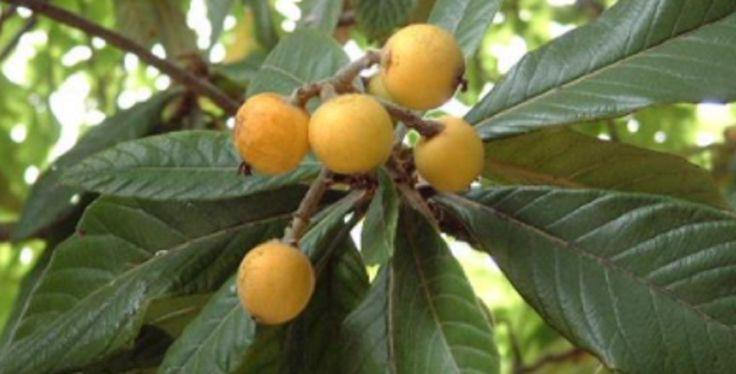 Solo necesitas saber como preparar las hojas de esta fruta para que entiendas como podrá controlar la insulina, piedras en los riñones, entre otros