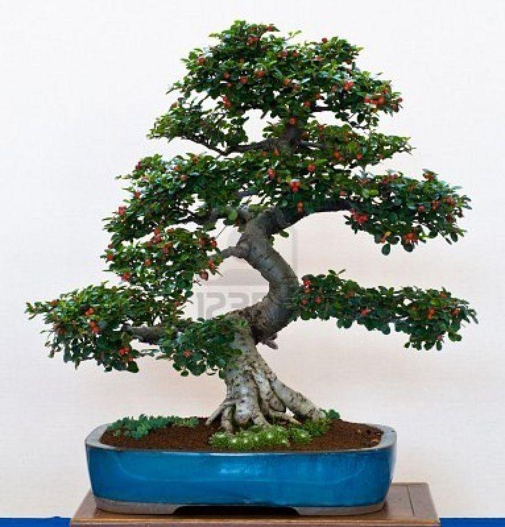 Cotoneaster as bonsai in a pot. #bonsai