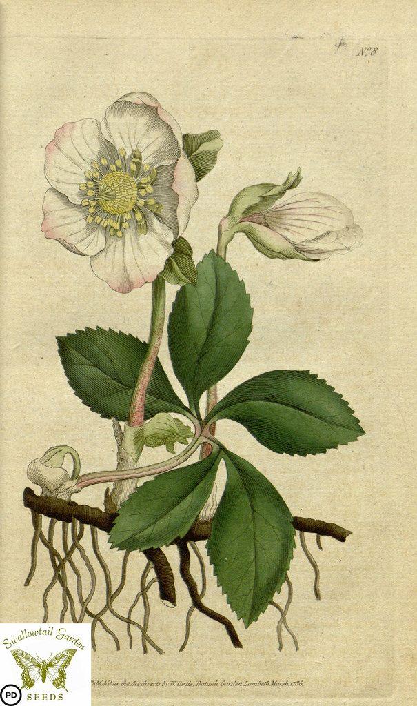 \Christmas rose. Helleborus niger. (1787)\