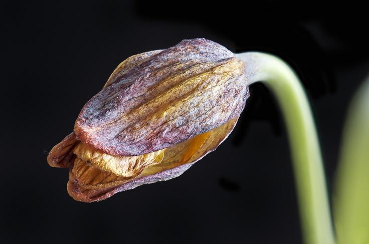 Kievitsbloem (Fritillaria melegris)