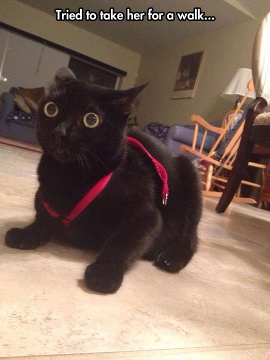 My Manx, Nikki, use to wear a little harness & walk on a leash. She loved it. When she saw it in my hands, she would get excited, start meowing, & run to the door.