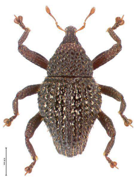 Trigonopterus diengensis vom Dieng Plateau auf der Insel Java.