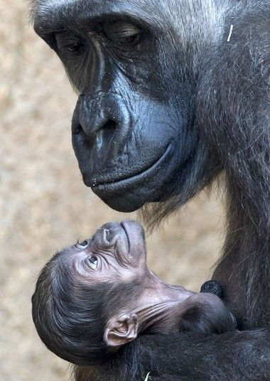 gorilla mom & baby look lovingly into each others eyes
