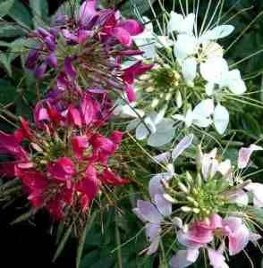 25 best spider flower cleome images on pinterest spider plants cleome flower mightylinksfo