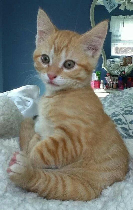 3487 Best Ginger Cats Images On Pinterest