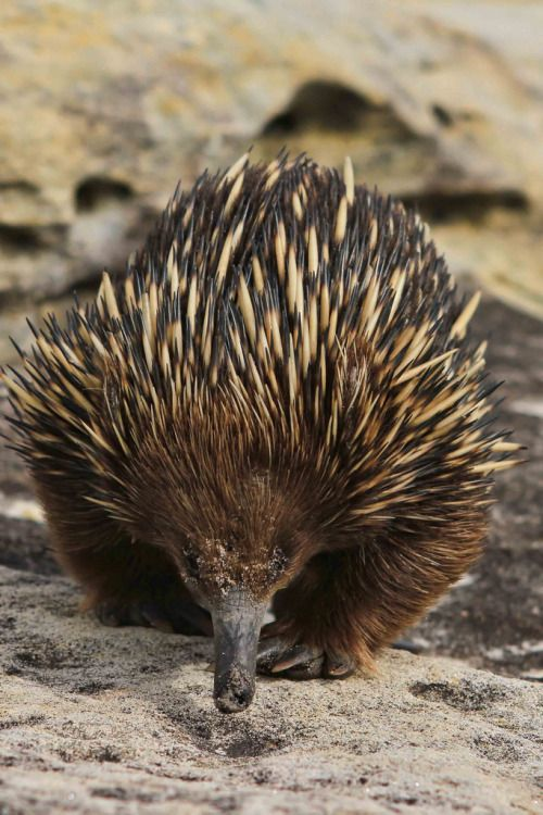 Echidna, a monotreme native to Australia and nearby islands