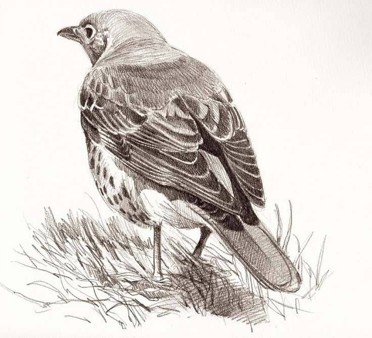 30 Best Images About Bird Drawings On Pinterest | Sketching Pastel Drawing And Finches