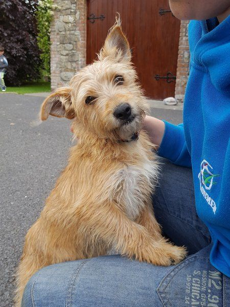 Yorkshire Terrier Jack Russell Cross. Very