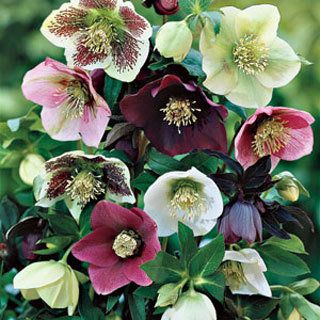 "Helleborous..A shade-loving evergreen perennial that blooms from winter to spring in shades of red, green, near-black, white, and pink. Grows 8-12"" tall in zones 3-8."
