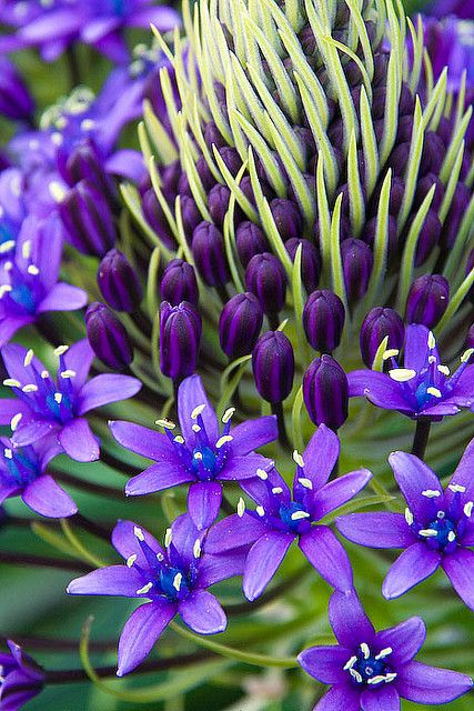 Caribbean Lily, By Neil Creek. Taken in Victoria, Australia.